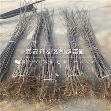 华玉苹果苗批发图片