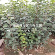 山东瑞香红苹果树苗、瑞香红苹果树苗基地图片