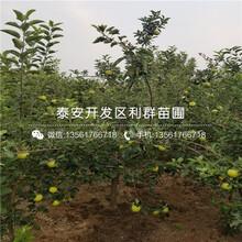 矮化苹果苗、矮化苹果苗出售图片