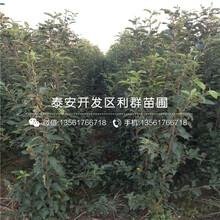 烟富3号苹果树苗图片