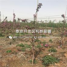 美八苹果树苗、美八苹果树苗批发价格图片
