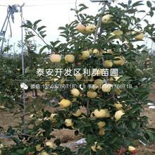 出售红色之爱苹果树苗、出售红色之爱苹果树苗价格及报价图片