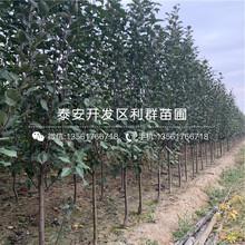 国光苹果苗价格、国光苹果苗出售图片