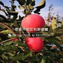 3公分苹果树苗批发基地、3公分苹果树苗报价及价格图片