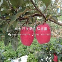 短枝红富士苹果树苗批发价格图片
