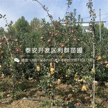 红露苹果苗品种图片
