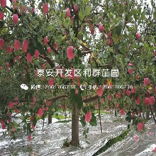 烟富10号苹果树苗批发价格、2020年烟富10号苹果树苗价格图片