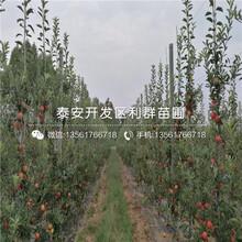 烟富苹果苗价格及报价图片