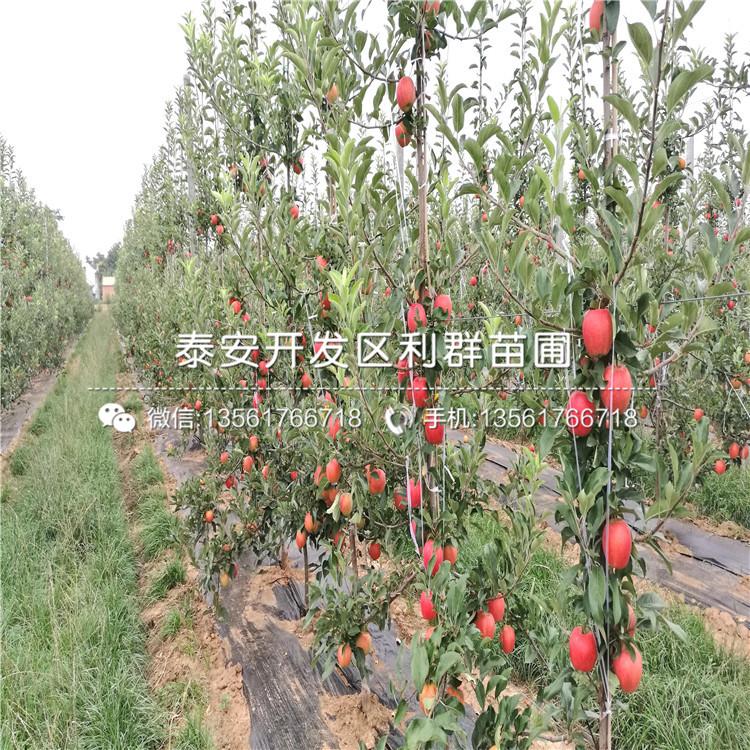 苹果树苗批发基地