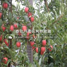 山东红将军苹果苗、红将军苹果苗新品种图片