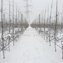 红心苹果树苗基地及价格图片