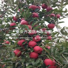 国光苹果苗批发价格、2020年国光苹果苗价格图片