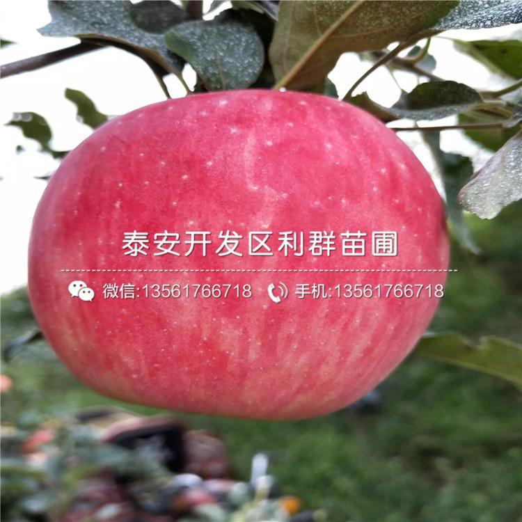 红嘎啦苹果苗出售、2020年红嘎啦苹果苗价格