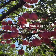 红星苹果苗、红星苹果苗价位图片