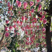 烟富6号苹果树苗价格、烟富6号苹果树苗报价图片