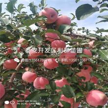 红肉苹果苗品种介绍、2020年红肉苹果苗价格图片