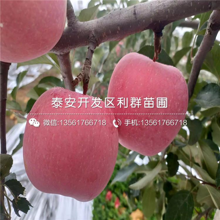 维纳斯黄金苹果树苗基地