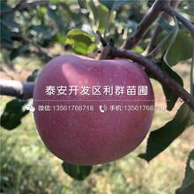新2001苹果苗出售价格、新2001苹果苗基地及报价图片