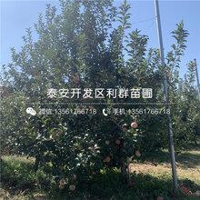 七月天仙隻果樹(shu)苗基(ji)地圖片