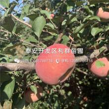 华硕苹果树苗、华硕苹果树苗品种图片