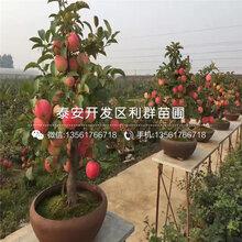 烟富苹果苗出售、烟富苹果苗价格及基地图片