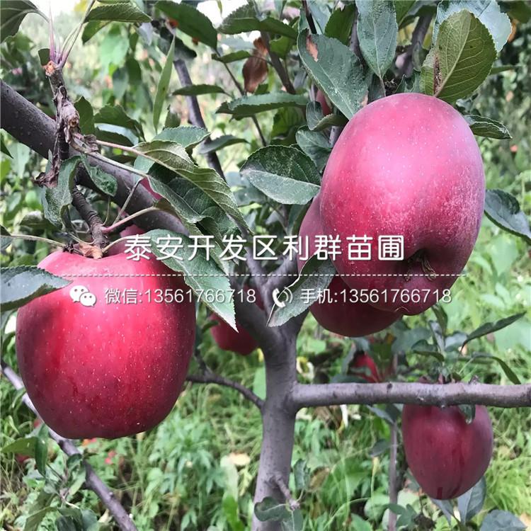 烟富6号苹果树苗出售价格、烟富6号苹果树苗基地及报价
