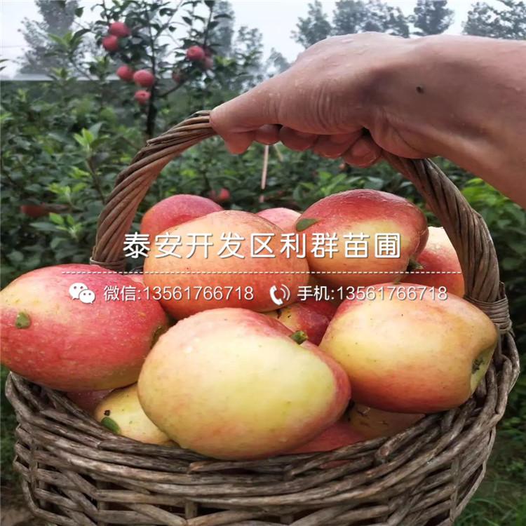 5公分2020年苹果苗、5公分2020年苹果苗价格
