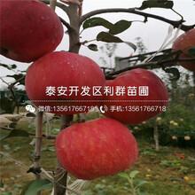 批发矮化m26苹果苗、批发矮化m26苹果苗基地图片