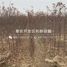 山东苹果树苗、山东苹果树苗基地及报价图片