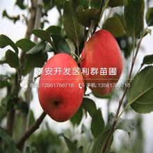 红将军苹果树苗批发、红将军苹果树苗价格图片