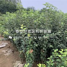 烟富6号苹果树苗、烟富6号苹果树苗价位图片