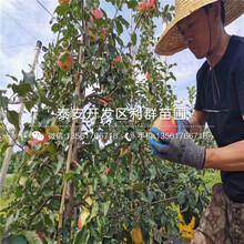 矮化砧苹果苗出售价格图片