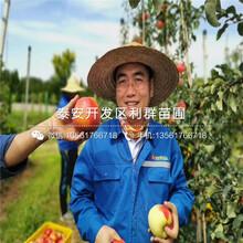 矮化m26苹果树苗、矮化m26苹果树苗报价及价格图片