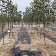 新品種美國紅蛇果苗、新品種美國紅蛇果苗基地