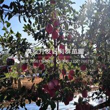 批發(fa)m9t337隻果樹(shu)苗、批發(fa)m9t337隻果樹(shu)苗價(jia)格及報價(jia)圖片