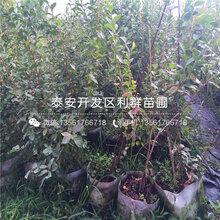 山东精华蓝莓树苗、精华蓝莓树苗基地图片