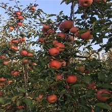 烟富六号苹果树苗、烟富六号苹果树苗批发基地图片