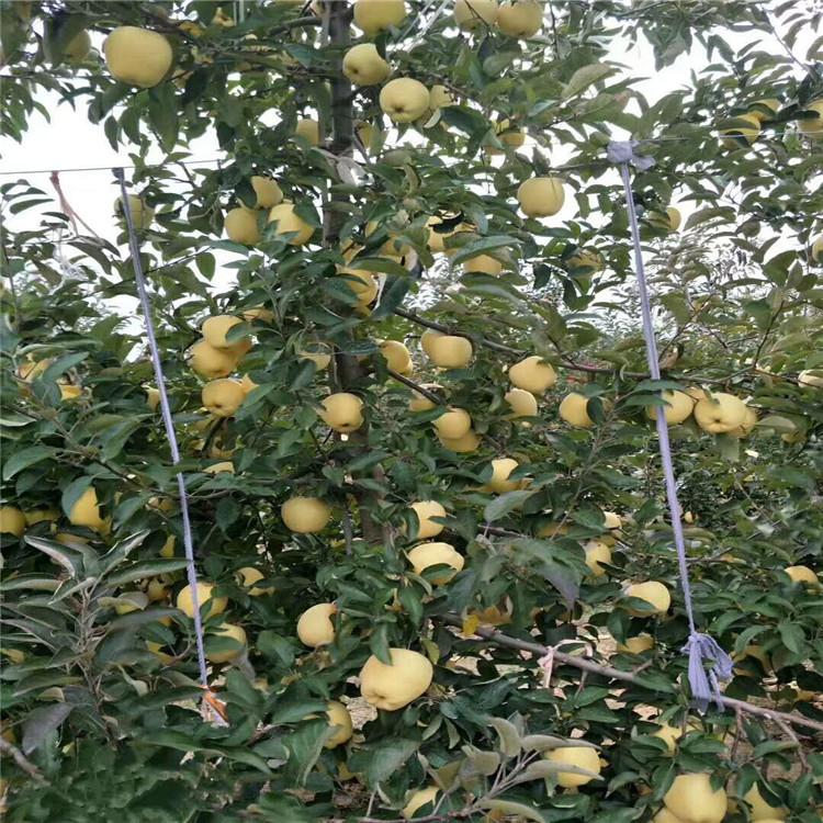 出售烟富八号苹果树苗、出售烟富八号苹果树苗基地