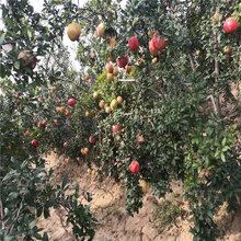 中农红石榴树苗出售基地、中农红石榴树苗价格及报价图片