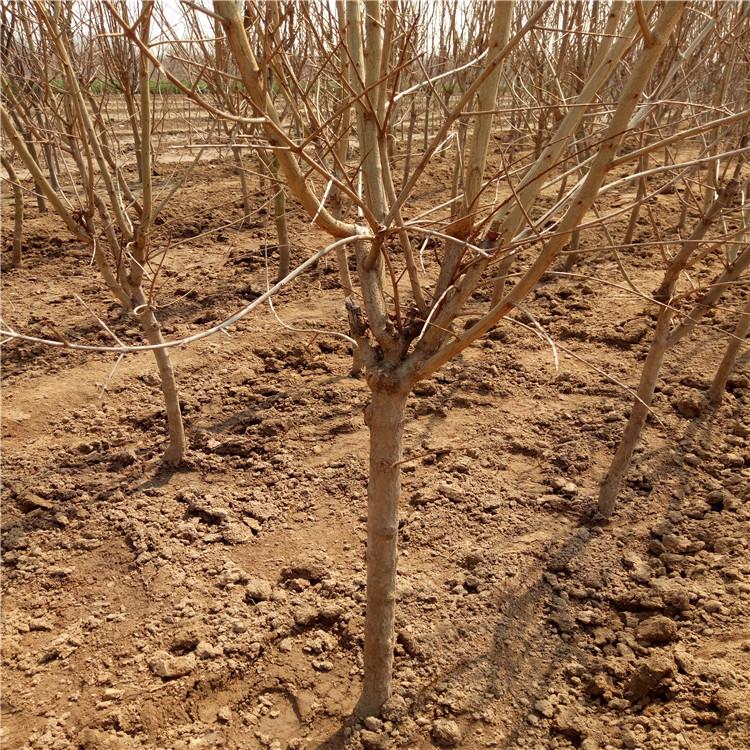 大紅袍石榴樹苗批發、大紅袍石榴樹苗價格及基地