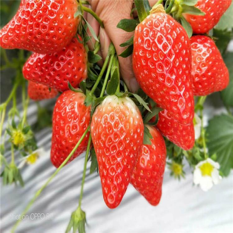 批發紅頰草莓苗、紅頰草莓苗價格及基地