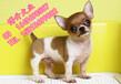 北京哪賣純種吉娃娃幼犬蘋果頭吉娃娃直銷精品吉娃娃犬