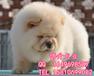 北京哪有賣純種松獅幼犬的美系小體松獅直銷高品質松獅犬