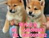 北京純種柴犬價格日本柴犬直銷高品質柴犬北京博升犬業