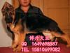 北京哪里賣純種德國牧羊犬大頭黑臉德牧犬保健康三個月
