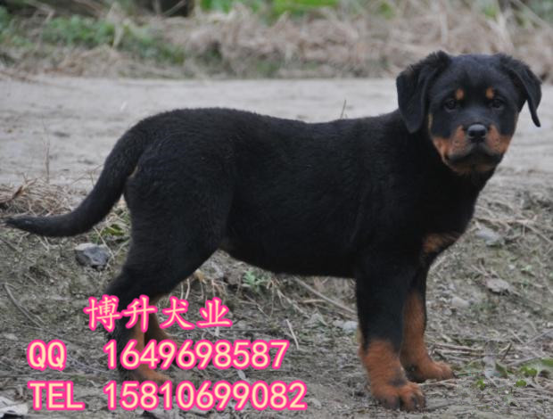 北京哪卖纯种罗威纳幼犬罗威纳犬价格北京博升犬业直销