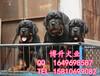 純種羅威納犬價格北京哪有賣羅威納幼犬的北京博升犬業