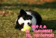 北京邊牧犬價格純種邊境牧羊犬賽級邊牧犬北京博升犬業
