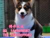 純種柯基犬多少錢一只北京哪里賣柯基幼犬北京博升犬業