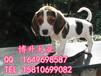純種比格犬多少錢一只北京哪里賣比格幼犬北京博升犬業